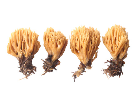 variety: Ramaria flava isolated on white background Stock Photo