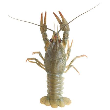 crawfish: Crawfish alive isolated on white background Stock Photo