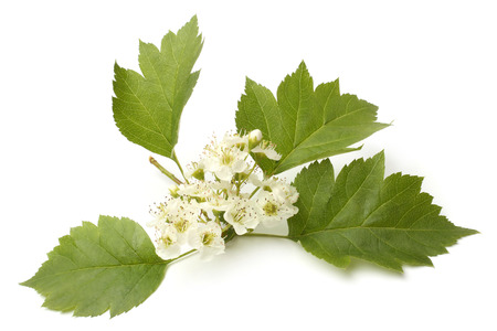 plantlet: Hawthorn branch with flowers on white background Stock Photo