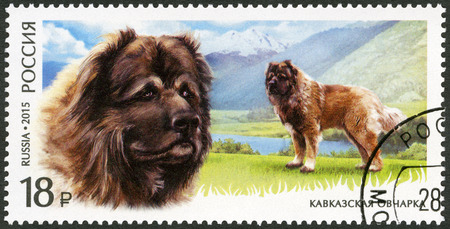 caucasian shepherd: RUSSIA - CIRCA 2015: A stamp printed in Russia shows Caucasian Shepherd Dog, series fauna, service breeds of dogs, circa 2015