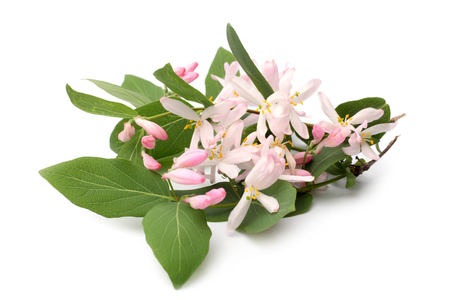 honeysuckle: Lonicera tatarica branch with flowers on white background