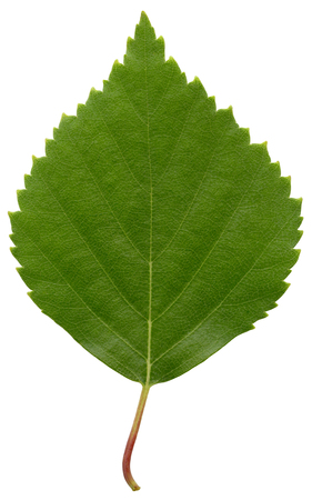 Green birch leaf isolated on white background Stock Photo