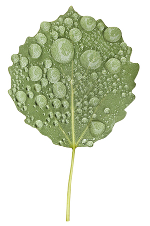 aspen leaf: Green aspen tree leaf with raindrops isolated on white background Stock Photo