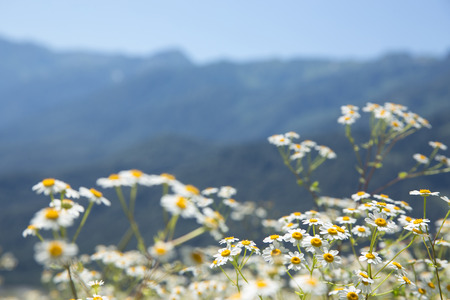 vertices: Summer mountain landscape with white camomile flowers, resort Krasnaya Polyana, Sochi, Russia Stock Photo