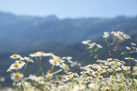 landscape flowers: Summer mountain landscape with white camomile flowers, resort Krasnaya Polyana, Sochi, Russia Stock Photo