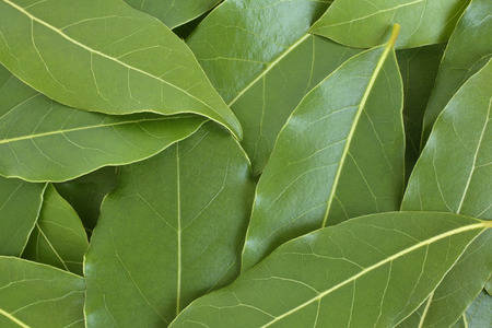 the bay: Fresh bay leaves, for backgrounds or textures