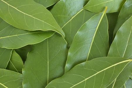 hojas parra: Hojas de laurel fresco, para los fondos y texturas