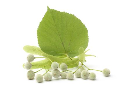 Tilia fruit  with green leaf on white background