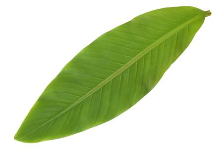 fresh leaf: Fresh banana leaf isolated on white background Stock Photo