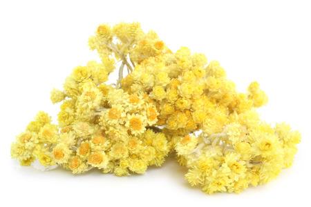 enano: Helichrysum flores sobre fondo blanco