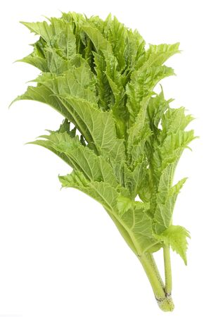 Fresh leaves of Cow Parsnip isolated on white background