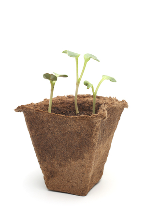 Young sprouts of garden radish in peat pot on white background