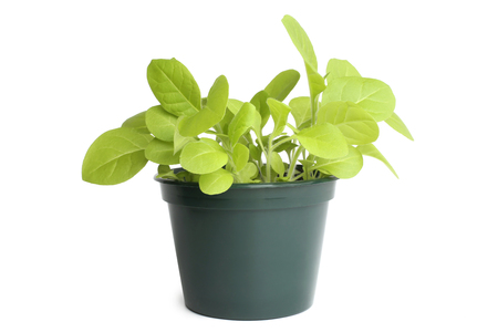 Tobacco plant in flowerpot on white background