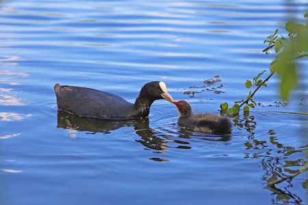 Eurasian Coot (Fulica atra) with a newborn chick