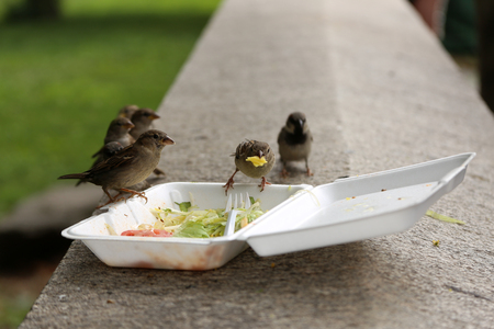 leftovers: Group of sparrow birds eats from dirty plastic lunch box with leftovers after lunch