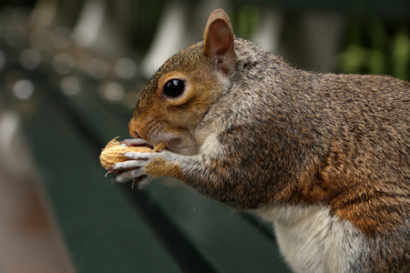 Squirrel holds a peanuts on bench in the park, a horizontal picture