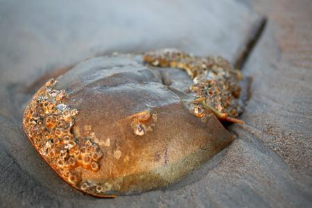 Horseshoe crab on the beach