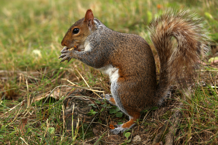 Squirrel holds a peanuts in the park, a horizontal picture