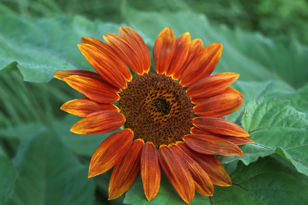 helianthus: Red sunflower, a horizontal picture Stock Photo