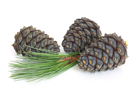 Siberian pine branch with cones on white background
