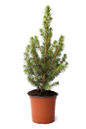 Little fir tree in pot on white background Stock Photo