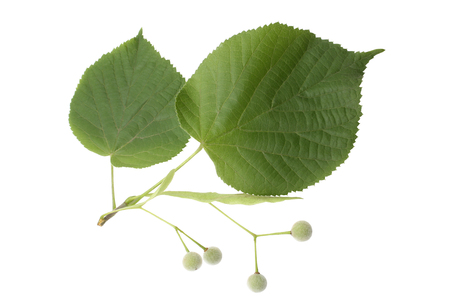 Tilia fruit  with green leaves isolated on white background Stock Photo