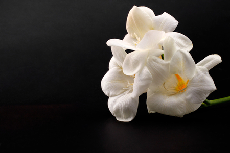 Freesia branch with white flowers on black background