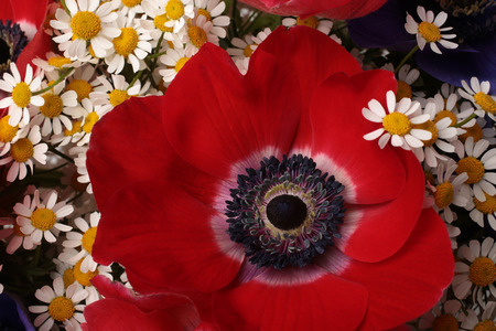 Closeup of red anemone flower in bouquet