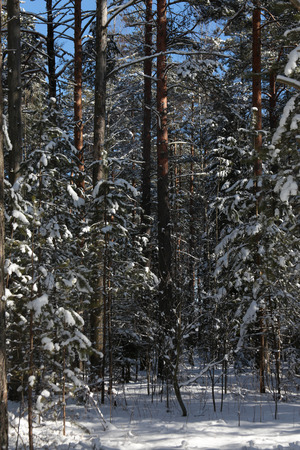 Winter forest covered in snow, vertical picture