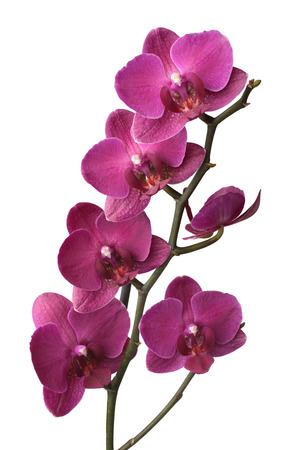 Lila Phalaenopsis-Orchideen isoliert auf weißem Hintergrund