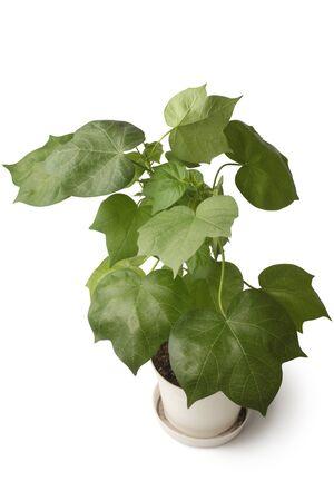Cotton plant in flowerpot on white background