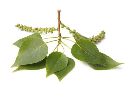 Branch of poplar with leaves and female inflorescences on white background Foto de archivo