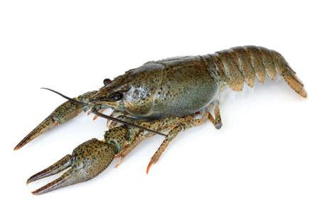 Crawfish alive on white background Archivio Fotografico