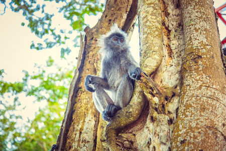 Silvered leaf monkey sits on tree. Malaysia Stock Photo