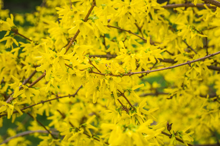 Forsythia bush blooming with thousand of yellow flowers, closeup, macro.