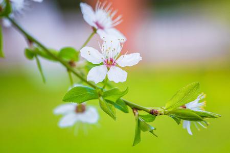 Beautiful cherry blossom Sakura, closeup, macro