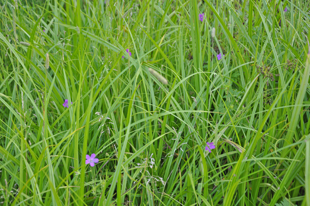 soggy: Close up of fresh thick grass in the early morning