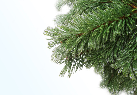 freezing: Spruce, pine needles. Tree in ice. Freezing rain.