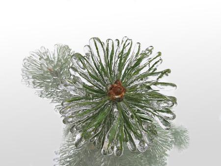 spruce: Spruce, pine needles. Tree in ice. Freezing rain.