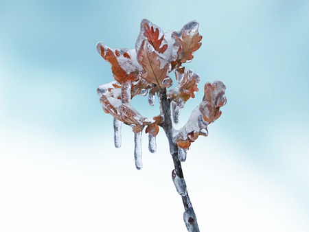 trapped: Freezing rain on the oak branches of a shrub with leaves trapped in ice. Stock Photo