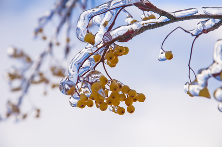 Bunch of rowan berries with ice crystals after ice rain