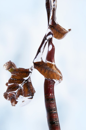 trapped: Freezing rain on the branches of a shrub with leaves trapped in ice.