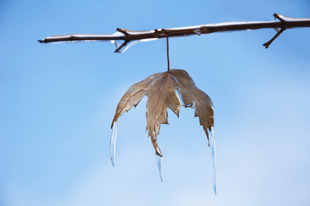 trapped: Frozen maple tree branch in winter
