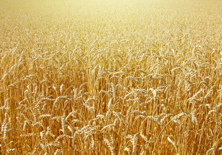 Field of wheat in the late afternoon Stock Photo