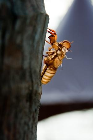 Cicada molt on the coconut tree at Raya Island  Stock Photo - 9529585