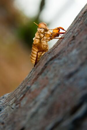 Cicada molt on the coconut tree at Raya Island  photo