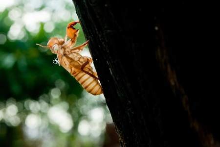 Cicada molt on the coconut tree at Raya Island Stock Photo - 9529581