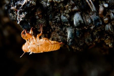 Cicada molt on the coconut tree at Raya Island  photo