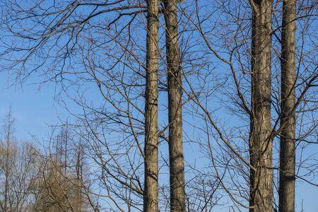 arboles frondosos: árboles y el cielo azul en invierno, que se encuentra en China. Foto de archivo