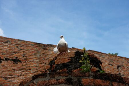 A beautiful white pigeon with gloriously posture on the top of ruined pillar 3. Stock Photo